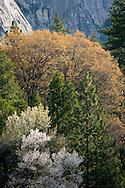 Trees in Spring, Yosemite Valley, Yosemite National Park, California