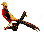 The golden pheasant (Chrysolophus pictus), also known as the Chinese pheasant, and rainbow pheasant, is a gamebird of the order Galliformes (gallinaceous birds) and the family Phasianidae (pheasants). It is native to forests in mountainous areas of western China, From Birds : illustrated by color photography : a monthly serial. Knowledge of Bird-life Vol 1 No 1 January 1897
