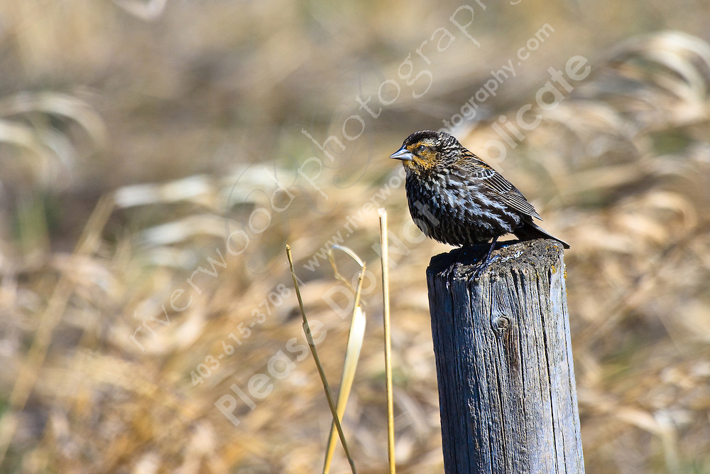 This little female blackbird was perched on a fencepost as I drove by.  I haven't seen very many females before, so I stopped to have a good look.  She was very curious and posed nicely for me!..©2009, Sean Phillips.http://www.Sean-Phillips.com