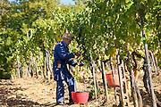Man picking Sangiovese Chianti Classico grapes at Pontignano in Chianti region of Tuscany, Italy