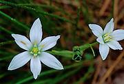 Star-of-Bethlehem in forest - Mississippi