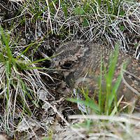 MONGOLIA. Baby bird in grassy nest beside Lake Hovsgol at foot of Horidol Saridog Mountains.  Hovsgol National Park.