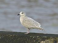 Kumlien's Gull - Larus glaucoides kumlieni - Juvenile