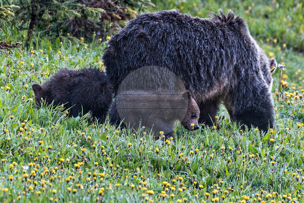 An grizzly bear cow with her spring cubs graze on dandelions along the banks of Lake Louise in Banff National Park in Alberta, Canada.