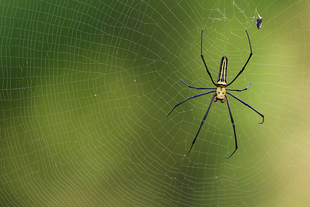 Northern Golden orb-weaver spider or Giant Wood Spider, Nephila pilipes, Taiwan