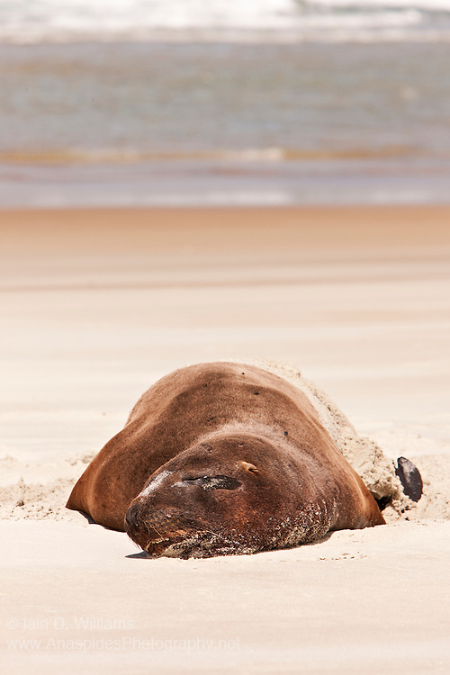 New Zealand Male Hooker Sea Lion (Phocarctos hookeri) - New Zealand
