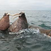 Walrus' in Svalbard, Norway.