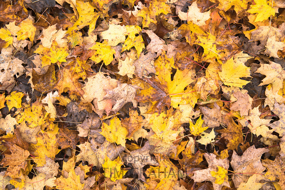 Fallen maple - Acer - leaves on forest floor during The Fall in Vermont, New England, USA
