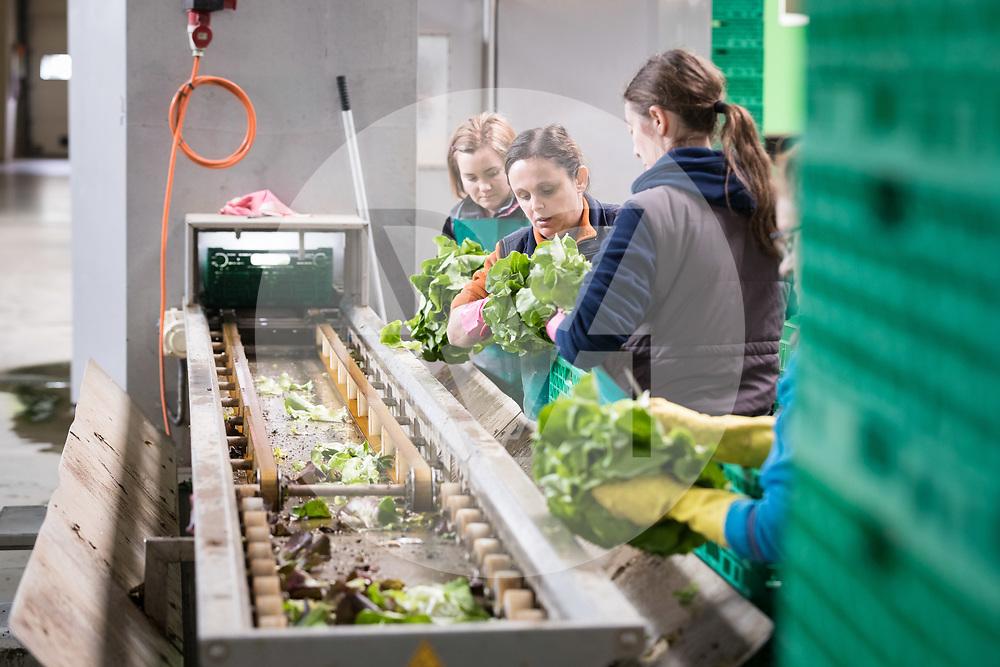 SCHWEIZ - NIEDERBIPP - Mitarbeiterinnen rüsten Kopfsalate am Fliessband bei Bösiger Gemüsenkulturen AG - 21. Juni 2019 © Raphael Hünerfauth - http://huenerfauth.ch