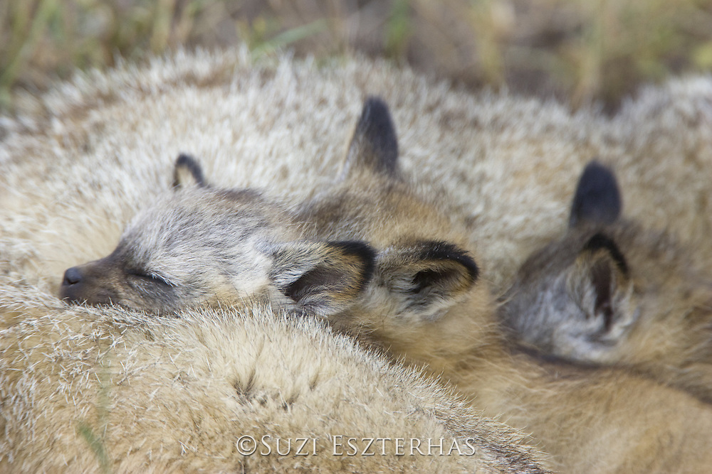 Bat-eared fox<br /> Otocyon megalotis<br /> 4 week old pup(s) sleeping on parent<br /> Masai Mara Reserve, Kenya
