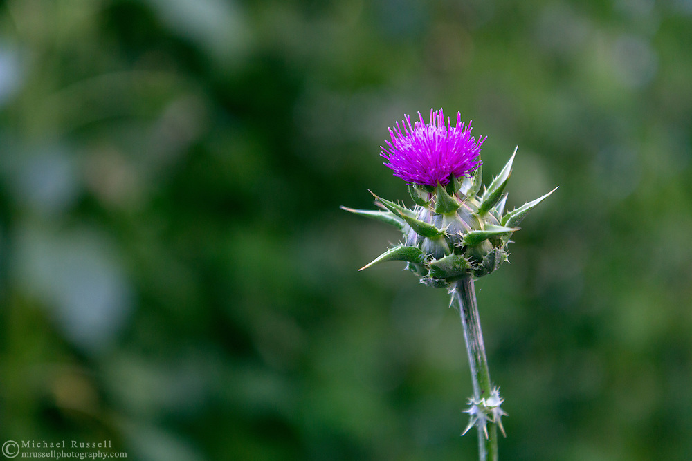 A Milk Thistle blossom in a herb garden in the Fraser Valley of British Columbia, Canada