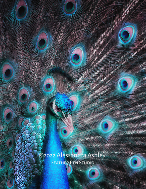 India blue peacock displaying his feathers.  Image enhancements impart a cyan hue to the bird.
