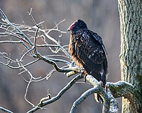 Turkey Vulture (Cathartes aura). Image taken with a Nikon D850 camera and 600 mm f/4 VR lens