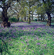 Bluebell wild flowers growing in woodland, Butley, Suffolk, England