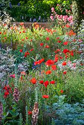 Papaver rhoeas - Field poppy, Corn poppy, Flanders poppy growing through a border
