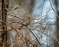 Fox Sparrow. Image taken with a Nikon D300 camera and 80-400 mm VR lens (ISO 250, 400 mm, f/5.6, 1/250 sec).