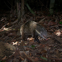 The crab-eating mongoose (Herpestes urva) is a mongoose species ranging from the northeastern Indian subcontinent and Southeast Asia to southern China and Taiwan. It is listed as Least Concern on the IUCN Red List