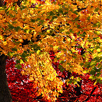"""""""Abundance""""<br /> <br /> You'll find yourself absorbed in this gorgeous and brilliant fall foliage image! Amazing and abundant yellows, greens, and reds with deep dark tree trunks make a beautiful combination!!<br /> <br /> Fall Foliage by Rachel Cohen"""