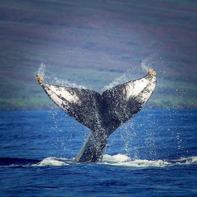 A humpback Whale of the Coast of Maui, Hawaii.