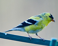 American Goldfinch (Spinus tristis). Image taken with a Nikon D850 camera and  500 mm f/4 VR lens.