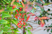 Nandina (AKA heavenly bamboo or sacred bamboo). Nandina domestica, in a garden the red fruit can be seen