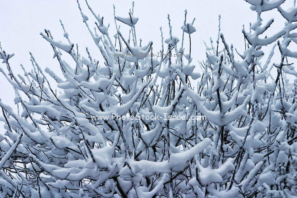 Trees covered in snow, Israel