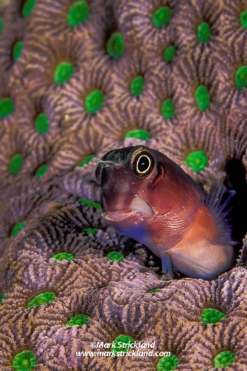 A tiny Bicolor Combtooth Blenny, Ecsenius bicolor, peers from its home, an empty wormhole in a living coral colony.  Mergui Archipelago, Myanmar, Andaman Sea, Indian Ocean