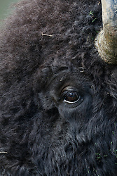 Eye of Bison, Vermejo Park Ranch, New Mexico, USA.
