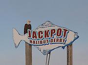 Abald eagle (Haliaeetus leucocephalus) rests atop a Homer Chamber of Commerce Jackpot Halibut Derby sign on the Homer Spit in Homer, Alaska.