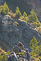 Tatra chamois (Rupicapra rupicapra tatrica), adult male on rocky ridge and Arolla pines (Pinus cembra). Western Tatras, Slovakia. June 2009. Mission: Ticha