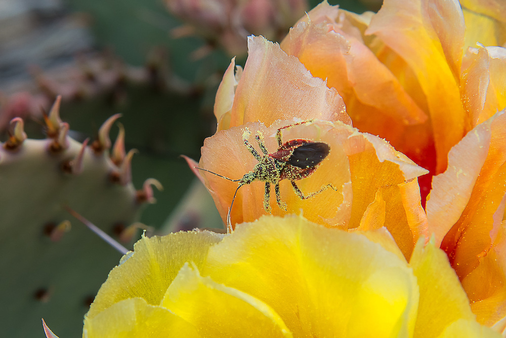 This great find in a purplish prickly pear cactus flower (Opuntia azurea) in Big Bend National Park in West Texas was an exciting one for me. This bee assassin bug is a clever hunter of bees and other pollinating insects found throughout much of North America. It is most often found inside flowers waiting to stab the unsuspecting insect attracted to the flower's sweet nectar with its sharp proboscis, where it will literally drink its prey dry. Even though this one is covered in pollen, you can still see the warning colors of black and red (aposematic coloration) warning birds and other predators that this bug is not safe to eat or hunt.
