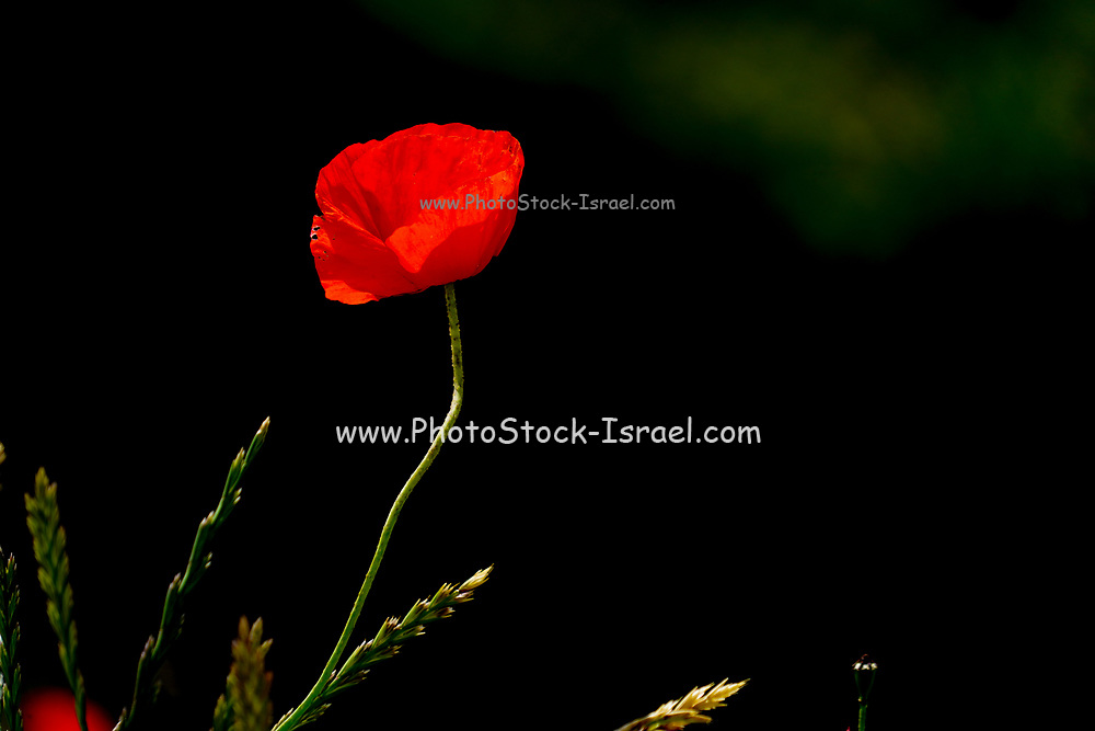red poppy on black background  photographed at Tel Apollonia, on the Mediterranean Coast, Herzliya, Israel in Spring, April