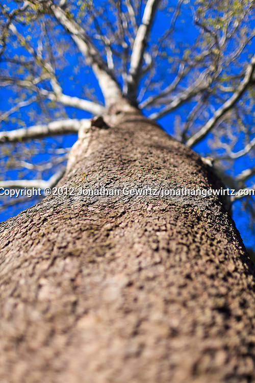 Looking up the trunk of a tall sycamore tree. WATERMARKS WILL NOT APPEAR ON PRINTS OR LICENSED IMAGES.