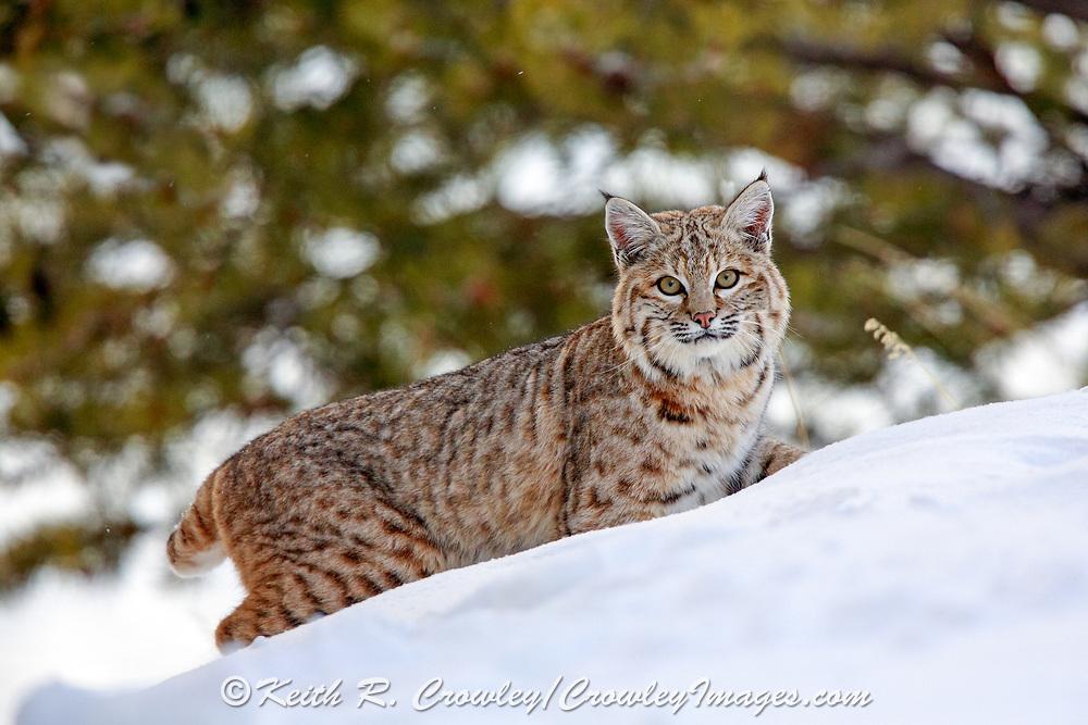 Bobcat (Lynx rufus) in snowy winter habitat in Wyoming, U.S.