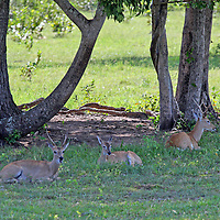 South America, Brazil, Pantanal.  A small herd of Marsh Deer rest in the shade in the Pantanal.