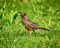 American Robin (Turdus migratorius) at the Sourland Mountain Preserve. Image taken with a Nikon D800 camera and 500 mm f/4 lens.