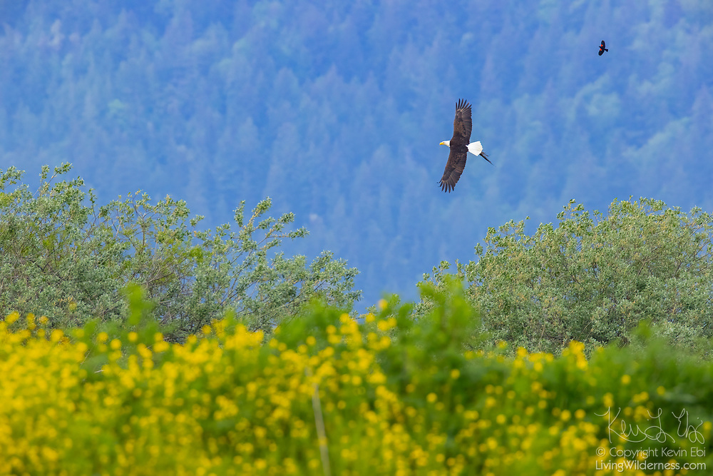 A bald eagle (Haliaeetus leucocephalus), trailed by a red-winged blackbird, gathers material to line its nest in Bow, Washington.