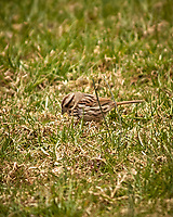 Song Sparrow. Image taken with a Nikon D2xs camera and 80-400 mm VR telephoto zoom lens.