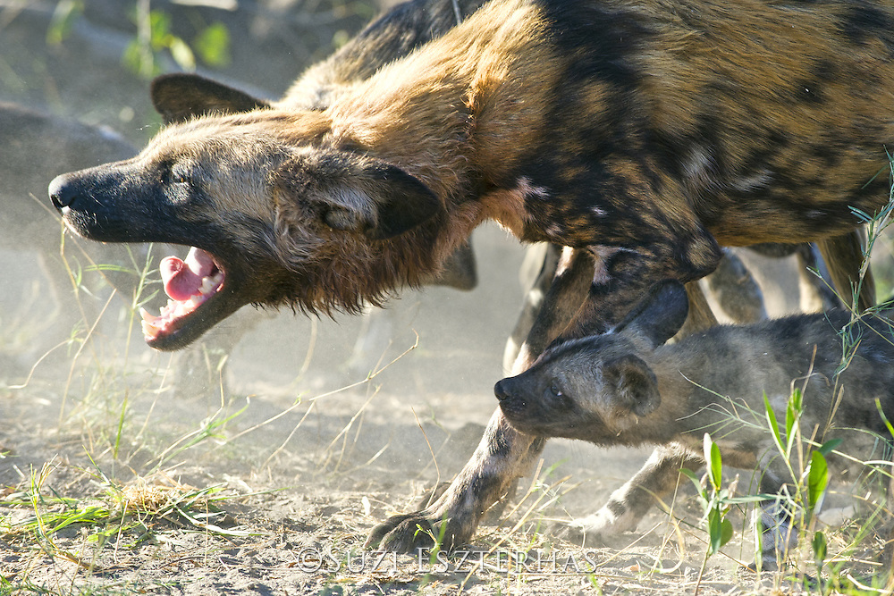 African Wild Dog<br /> Lycaon pictus<br /> Adult with 8 week old pup<br /> Northern Botswana, Africa<br /> *Endangered species