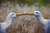 Animals, bird couple kissing.<br />