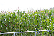 maize, crop, harvest, arable, farming, field, flour, ripe,