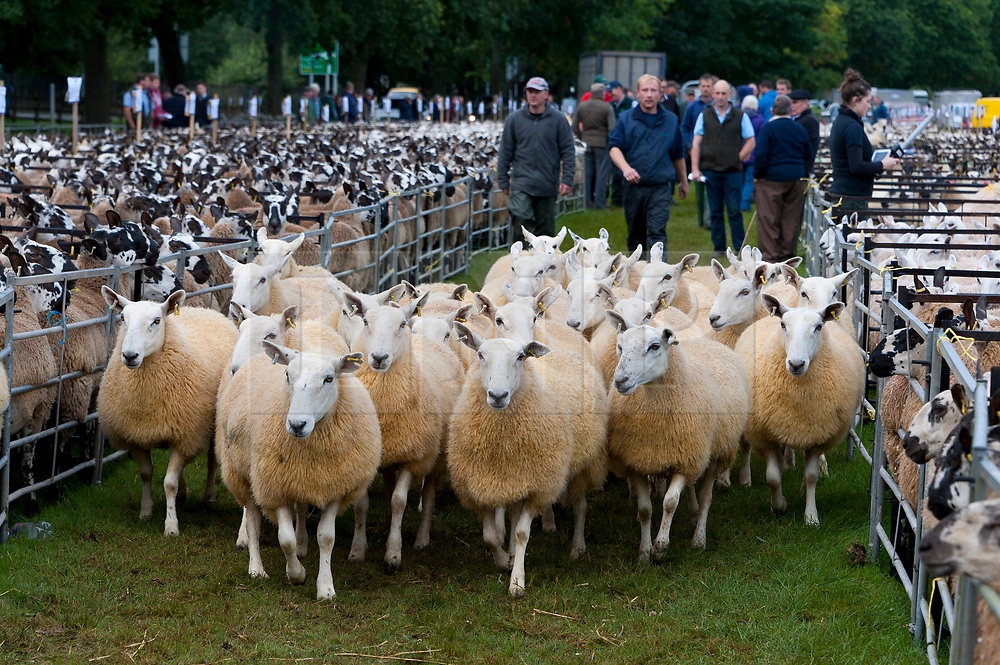 © Licensed to London News Pictures. 14/09/2018. Llanelwedd, Powys, Wales, UK. Mule ewes arrive for the 38th Annual Special Sale of 12,200 Welsh Mules which takes place at the Royal Welsh Showground Llanelwedd, Powys. Welsh Mule sheep are breeding ewes used by sheep farmers to produce the finest quality lambs for today's discerning consumers, and are the progeny of a registered Bluefaced Leicester ram crossed with the Welsh Mountain, Beulah or Welsh Hill Speckled-face ewes, all hardy, healthy Welsh hill breeds which impart their best qualities to their offspring. Photo credit: Graham M. Lawrence/LNP