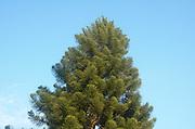 Norfolk Island Pine, Araucaria heterophylla (AKA Araucaria excelsa)