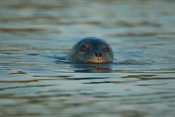 Harbor Seal (Phoca vitulina) off Holbrook Island, Castine, Maine, US