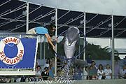 bottlenose dolphin, Tursiops truncatus, jumps through hoop for trainer at Miami Seaquarium, Virginia Key, Florida, USA
