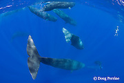 sperm whales, Physeter macrocephalus, diving, with underwater photographer surfacing, Endangered Species, Commonwealth of Dominica ( Caribbean Sea)