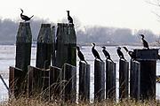 Nederland, Dodewaard, 14-2-2019Aalscholvers zitten op palen langs de rivier de Waal .Foto: Flip Franssen