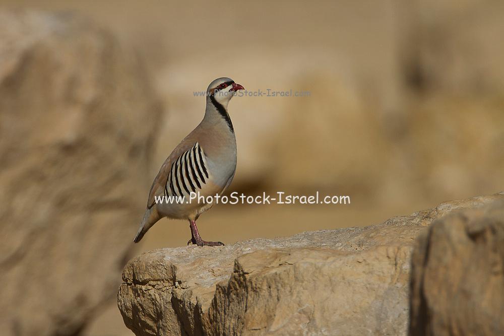 Closeup of a single Chukar Partridge or Chukar (Alectoris chukar) Photographed in Israel, Arava desert in January
