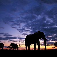 Botswana, Chobe National Park, Elephants (Loxodonta africana) silhouetted at dusk in Savuti Marsh