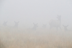 Elk cows in harem in fog during fall rut, Vermejo Park Ranch, New Mexico, USA.